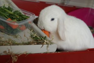 Ned the white rabbit
