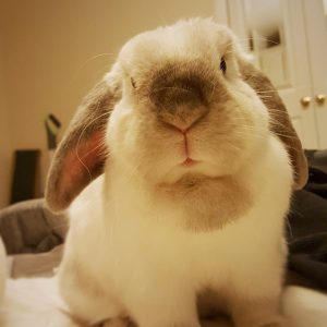Barbara the rescue rabbit