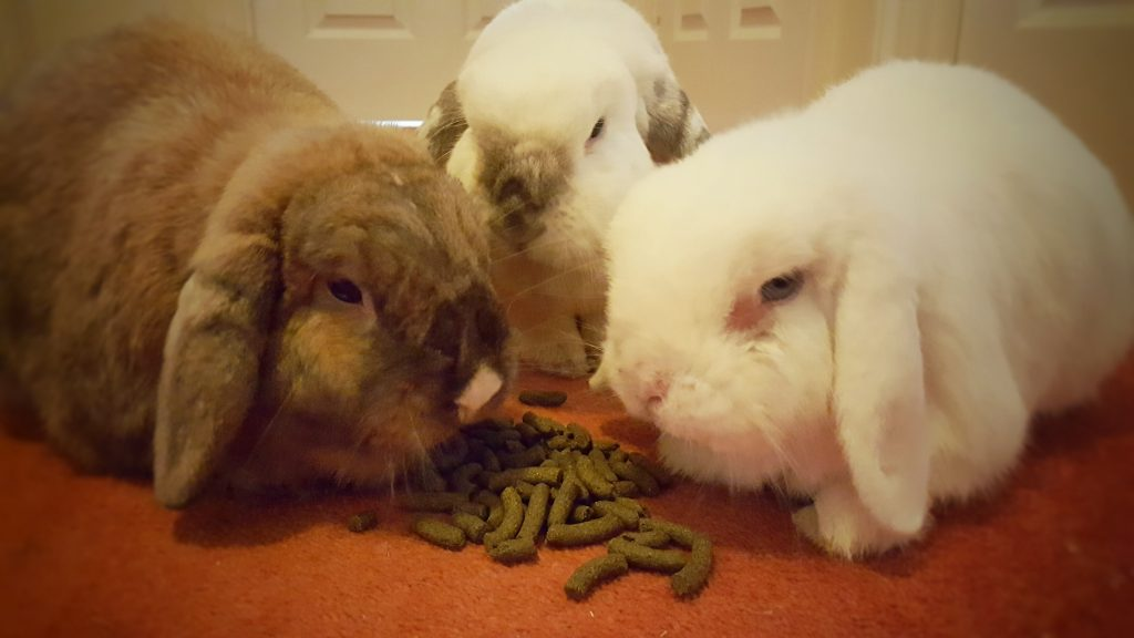 Bunnies eating rabbit food
