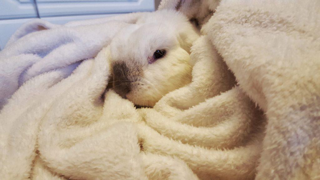 Barbara Rabbit dealing with GI stasis