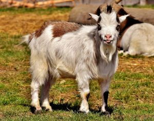 rabbit pet idea 4: goat